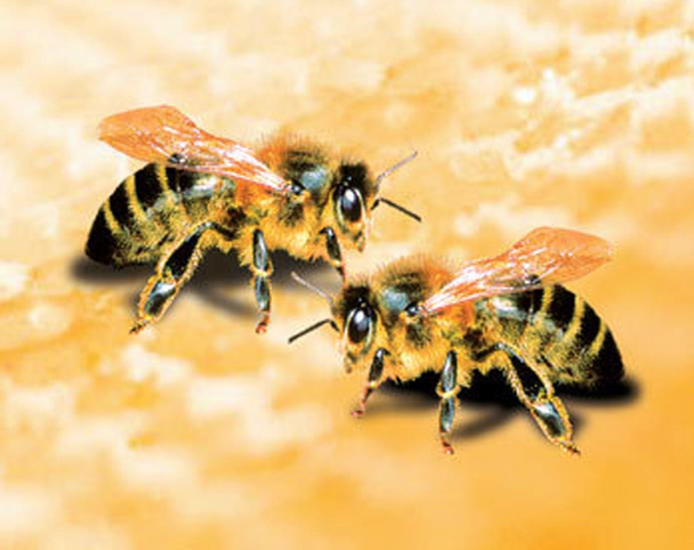 Trị tàn nhang bằng sữa ong chúa