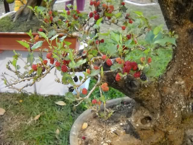 Làm trắng da bằng rễ cây dâu tằm