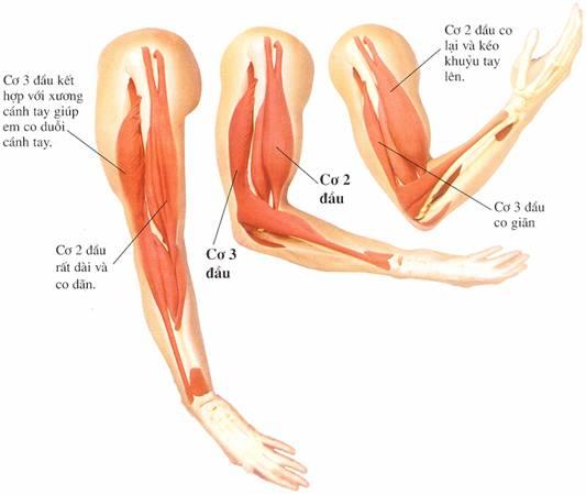 Bắp tay to cải thiện cách nào nhanh nhất?